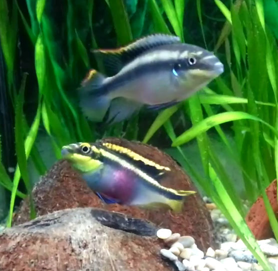 Kribensis breeding pair guarding nest the fish doctor for The fish doctor