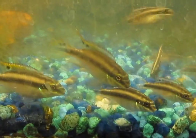 The fish doctor keep your tropical fish healthy and breeding for Doctor fish for sale