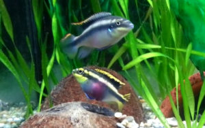 kribensis pair guarding cave