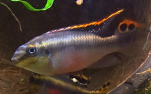 kribensis male in breeding colours