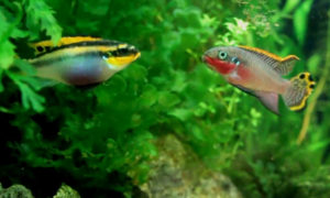pelvicachromis-taeniatis-male-female